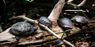 Four turtles sitting on a log in the wild.